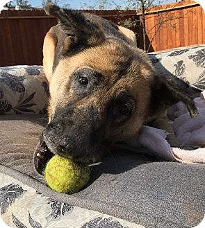 German Shepherd Dog/Anatolian Shepherd Mix Dog for adoption in Valley Village, California - GEMMA