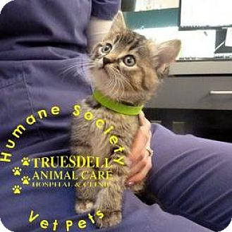 Domestic Shorthair Kitten for adoption in Janesville, Wisconsin - Mistletoe