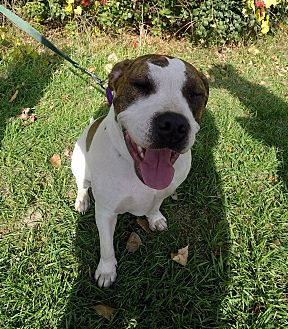 American Bulldog/Terrier (Unknown Type, Medium) Mix Dog for adoption in Detroit, Michigan - Hope