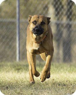 German Shepherd Dog/Belgian Shepherd Mix Dog for adoption in Warner Robins, Georgia - Gibson