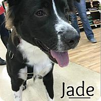 Adopt A Pet :: Jade - Northville, MI
