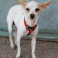 Chihuahua/Italian Greyhound Mix Dog for adoption in Albuquerque, New Mexico - Honey