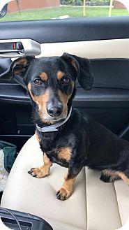 Dachshund Dog for adoption in Weston, Florida - Vesper