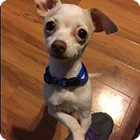 Adopt A Pet :: DOBIE - Elk Grove, CA