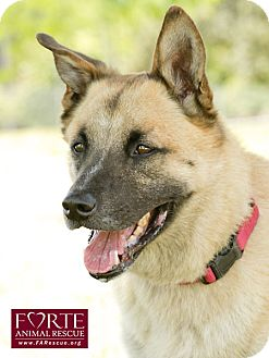 German Shepherd Dog/Belgian Malinois Mix Dog for adoption in Marina del Rey, California - Rocky II