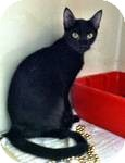 Domestic Shorthair Cat for adoption in Red Bluff, California - Drift