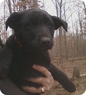 German Shepherd Dog/Labrador Retriever Mix Puppy for adoption in Nashville, Tennessee - Holly
