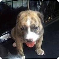 Adopt A Pet :: Miss Piggy - Phoenix, AZ