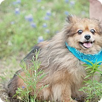 Adopt A Pet :: Grandpa Teddy - Houston, TX