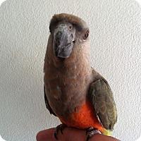 Adopt A Pet :: Pickles - Lenexa, KS