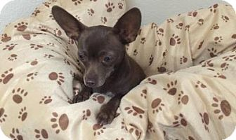 Chihuahua Dog for adoption in Gridley, California - Eva