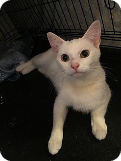 Domestic Shorthair Cat for adoption in Cincinnati, Ohio - Snow White