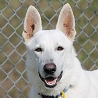 German Shepherd Dog Dog for adoption in Houston, Texas - Tom Jones
