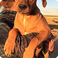 Adopt A Pet :: LUCY's Pups - Boys - Littleton, CO
