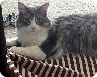 Domestic Longhair Cat for adoption in Las Vegas, Nevada - Cupcake