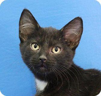 Domestic Shorthair Kitten for adoption in Overland Park, Kansas - Olive