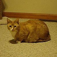 Domestic Shorthair Cat for adoption in Valley Park, Missouri - Midas