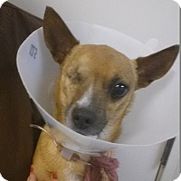 Chihuahua Mix Dog for adoption in Westminster, California - Brownie