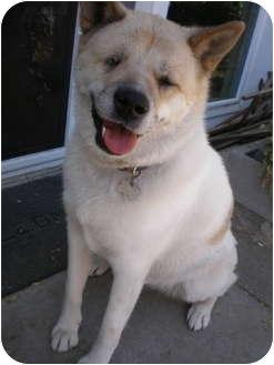 Akita Dog for adoption in Hayward, California - Kinako
