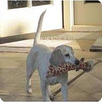 Adopt A Pet :: Pee Wee - Phoenix, AZ