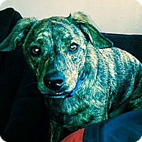 Adopt A Pet :: Dexter - I'm in New England! - Brattleboro, VT