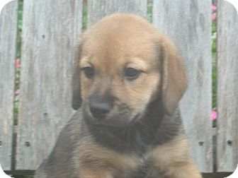Shepherd (Unknown Type)/Beagle Mix Puppy for adoption in Rocky Mount, North Carolina - Rayah