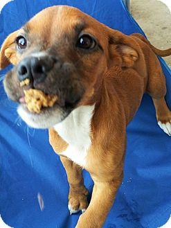 Hound (Unknown Type)/Pit Bull Terrier Mix Puppy for adoption in Wichita Falls, Texas - Balana