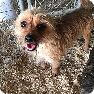 Australian Terrier Dog for adoption in PLAINFIELD, Indiana - Truman