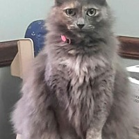 Adopt A Pet :: Miss Kitty - Harrisonburg, VA