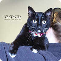 Adopt A Pet :: Socks - Edwardsville, IL