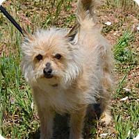 Adopt A Pet :: Scruffy - Payson, AZ