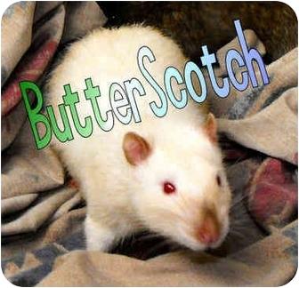 Rat for adoption in Las Vegas, Nevada - Butterscotch