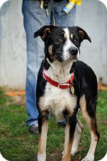 Border Collie Dog for adoption in Tinton Falls, New Jersey - Alice