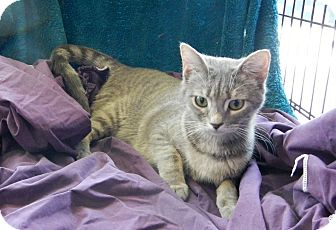 Domestic Shorthair Cat for adoption in Troy, Michigan - Wasabi
