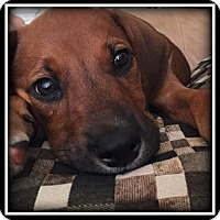 Adopt A Pet :: Belvedere - Indian Trail, NC