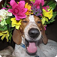 Adopt A Pet :: Alphie Jo - Sinking Spring, PA