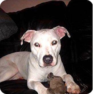 Labrador Retriever/Boxer Mix Dog for adoption in Minnesota, Minnesota - LYRIC