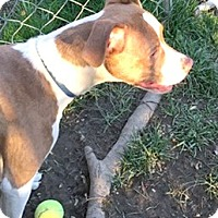 Boston Terrier/Pit Bull Terrier Mix Dog for adoption in Cincinnati, Ohio - Dallas