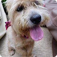 Border Terrier/Dachshund Mix Dog for adoption in Liverpool, Texas - CUPCAKE (Pearl)