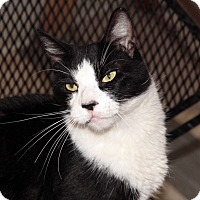 Domestic Shorthair Cat for adoption in St. Louis, Missouri - Ray Charles