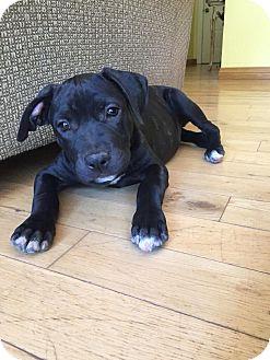 Staffordshire Bull Terrier/Labrador Retriever Mix Puppy for adoption in Santa Barbara, California - Susie Q