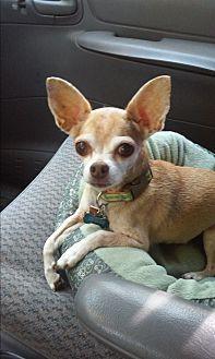 Chihuahua Dog for adoption in Earl, North Carolina - Bacchus