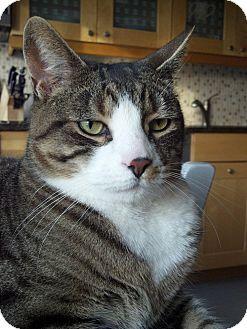 Domestic Shorthair Cat for adoption in Fairfield, Connecticut - Wellington