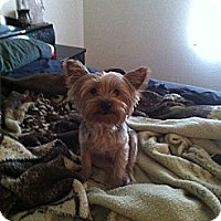Adopt A Pet :: Haley - Goodyear, AZ