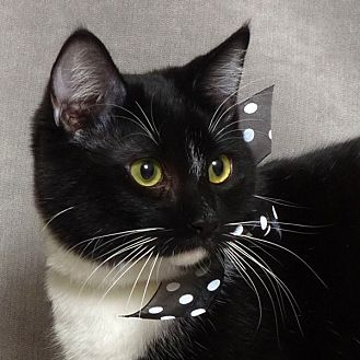 Domestic Mediumhair Cat for adoption in Kerrville, Texas - Mark