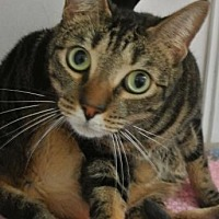 Domestic Shorthair Cat for adoption in Sebastian, Florida - Obi