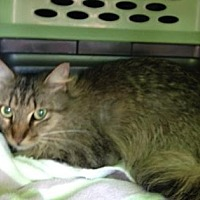 Domestic Mediumhair Cat for adoption in Pompano Beach, Florida - Penelope