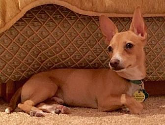 Chihuahua Mix Puppy for adoption in Scottsdale, Arizona - Ezra