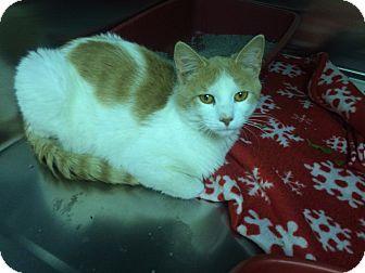Domestic Shorthair Cat for adoption in Richboro, Pennsylvania - Ben