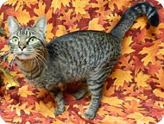 Domestic Shorthair Cat for adoption in Columbus, Nebraska - April